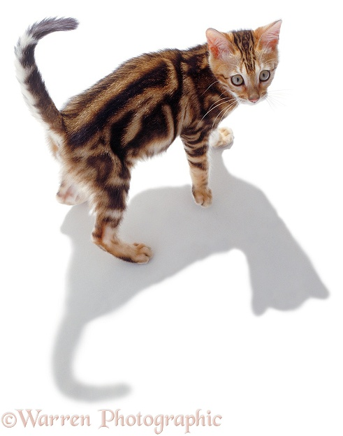 Kitten with shadow, white background