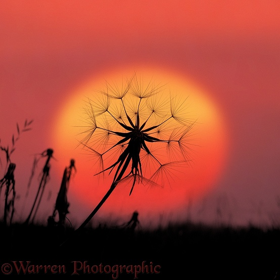 Goatsbeard (Tragopogon pratensis) seedhead at sunset
