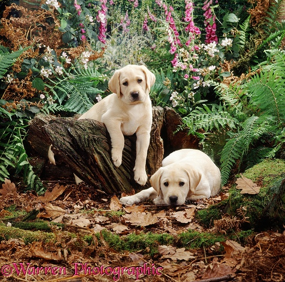 Two Yellow Labrador Retriever puppies, 7 weeks old, have been playing on a stump in the woods