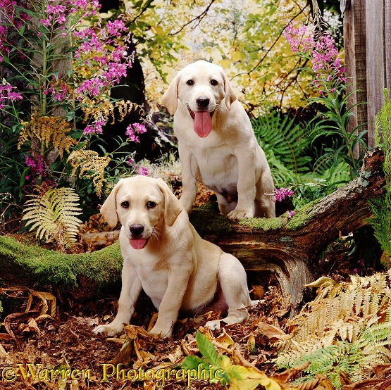 Yellow Labrador Retriever pups, Emma and Hamilton, have been running in the woods