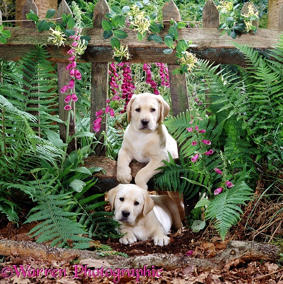 Two Yellow Labrador Retriever puppies, 7 weeks old, looking through a gap in the fence