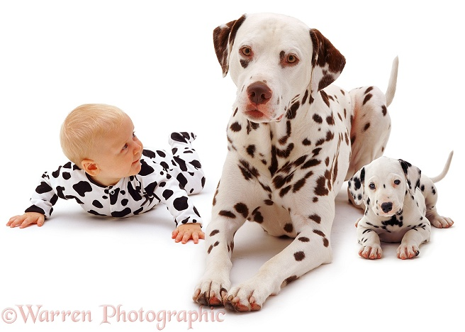 Baby Siena, 6 months old, with a Dalmatian father and pup, white background