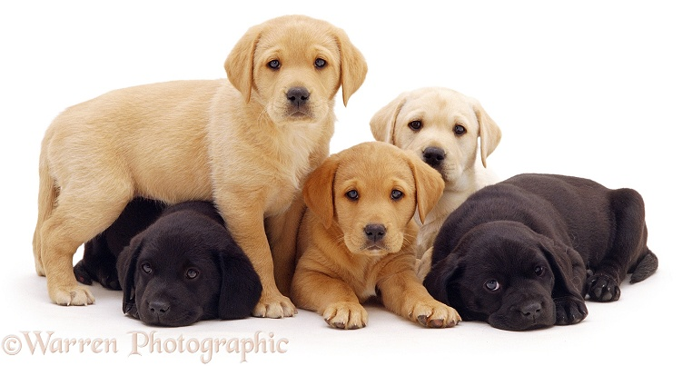 Three Yellow and two Black Labrador pups, 6 weeks old, white background