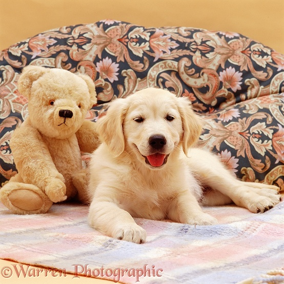 Golden Retriever puppy, Bella, 9 weeks old, with teddy bear