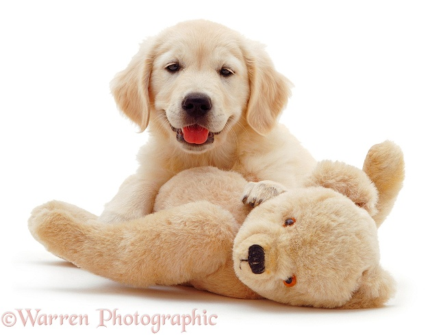 Golden Retriever puppy, Bella, 9 weeks old, with teddy bear, white background
