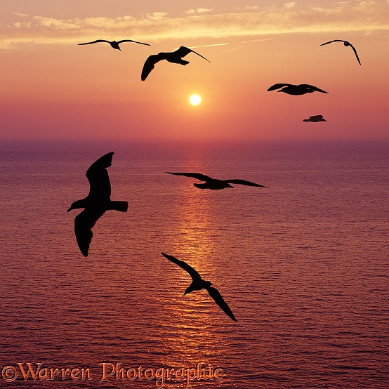 Seagulls silhouette at sunset