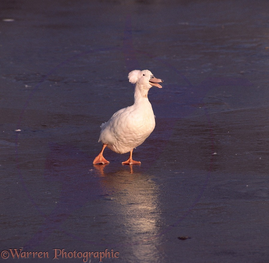 White Crested Duck (domestic form of Mallard) on a frozen pond