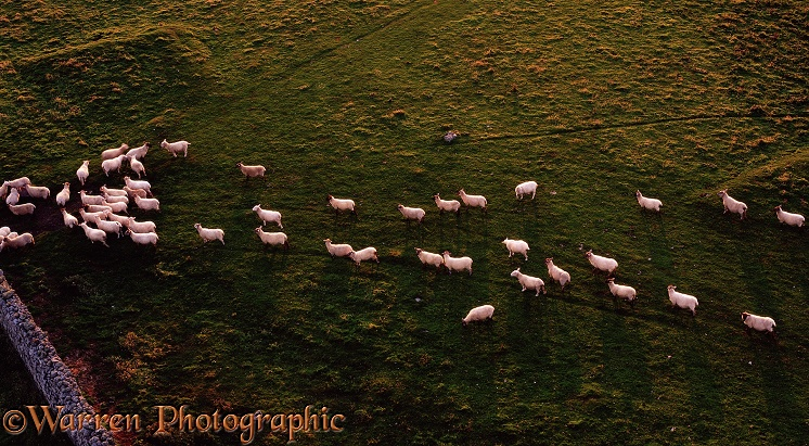 Sheep following each other like sheep.  Lundy Island, England
