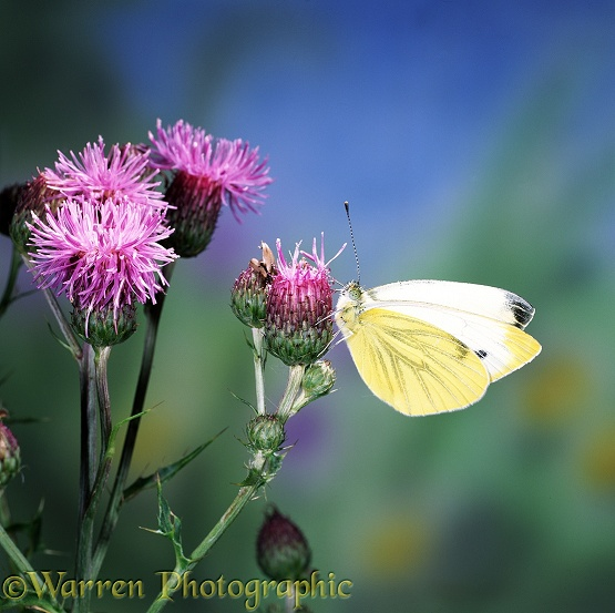 Green-veined White Butterfly (Pieris napi) on a thistle flower
