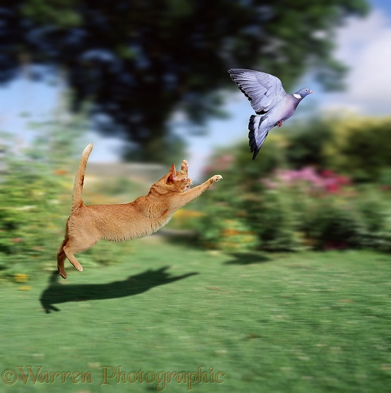 Ginger cat leaping at Wood Pigeon