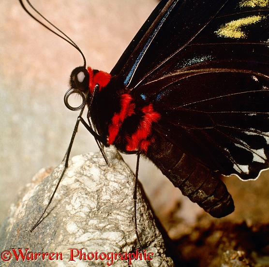 Rajah Brooke's Birdwing Butterfly (Trogonoptera brookiana) showing coiled tongue.  Malaysia