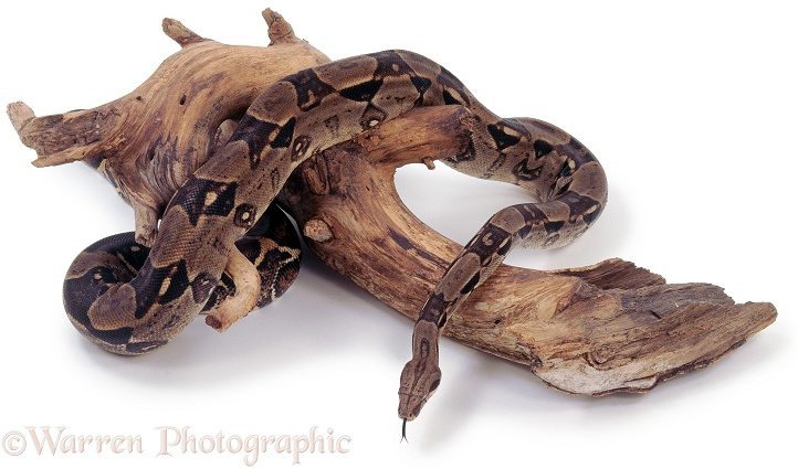 Red-tailed Boa (Boa constrictor) on twisted branch.  South America, white background