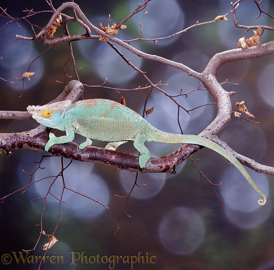 Parson's Chameleon (Chamaeleo parsoni) on the move.  Madagascar
