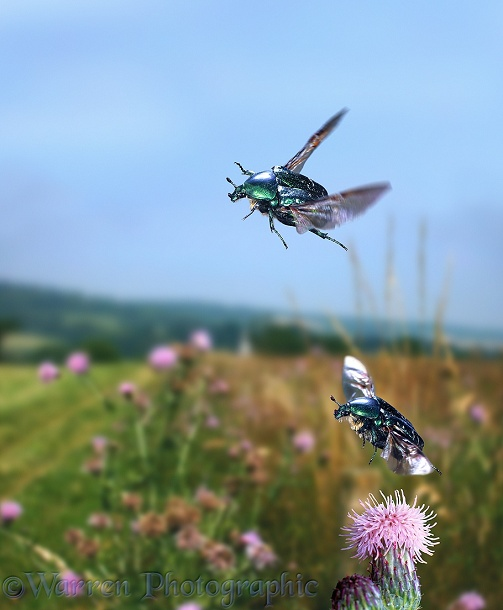 Rose Chafers (Cetonia aurata) in flight showing how wings can be extended while elytra remain closed
