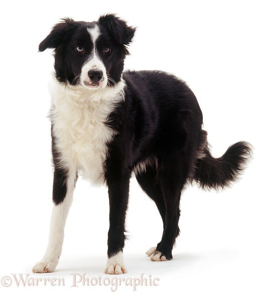 Odd-eyed black-and-white Border Collie bitch, Sky, white background