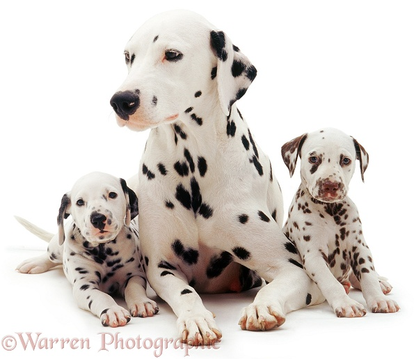 Dalmatian mother and two pups, white background