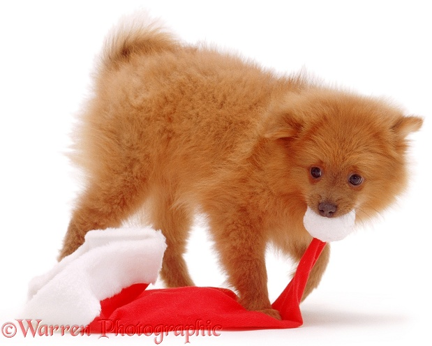 Pomeranian puppy, Penny, 10 weeks old, white background