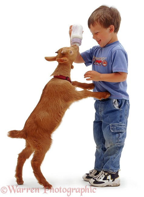 Boy feeding a goat kid, white background