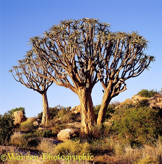 Quiver Trees (Aloe dichotoma).  Southern Africa
