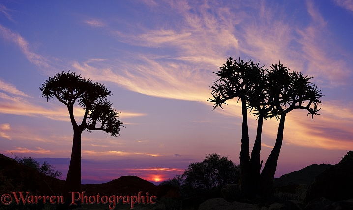Quiver Trees (Aloe dichotoma) at sunset.  Southern Africa