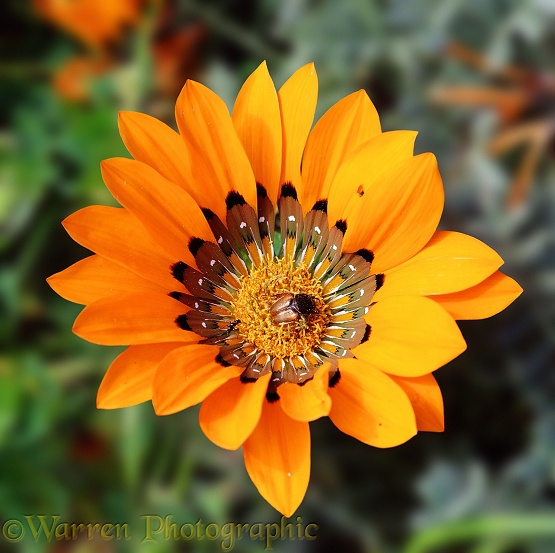 Gazania krebsiana [Afrikaans: botterblom] with beetle.  South Africa