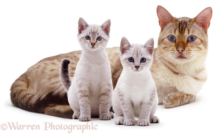 Blue-eyed Sepia-spotted Bengal male cat Lynx, lounging with two kittens, white background