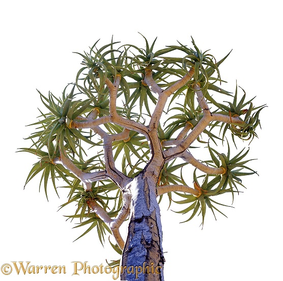 Quiver Tree (Aloe dichotoma).  Southern Africa, white background