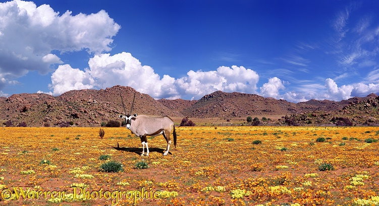 Oryx (Oryx gazella) among Namaqualand Daisies (Dimorphotheca sinuata) (orange) and Grielum humifusum (yellow).  South Africa