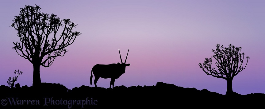 Oryx (Oryx gazella) and Quiver Trees (Aloe dichotoma) at sunset.  Southern Africa