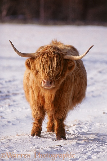 Highland cow in snow.  Scotland
