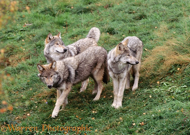 Grey Wolf (Canis lupus) family group