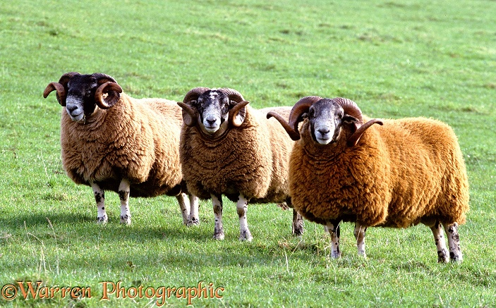 Islay sheep
