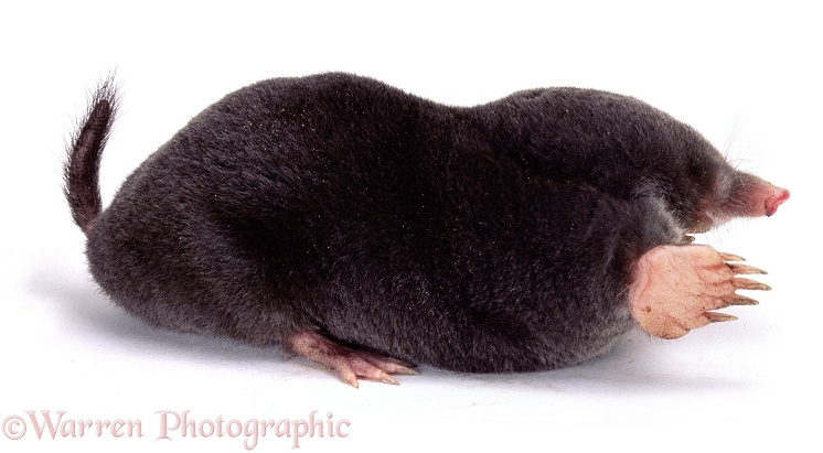 European Mole (Talpa europaea), white background