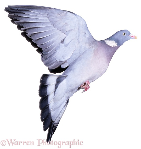 Wood Pigeon (Columba palumbus) male, taking off, white background