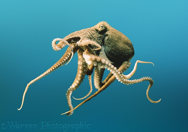 Octopus photo - WP03827