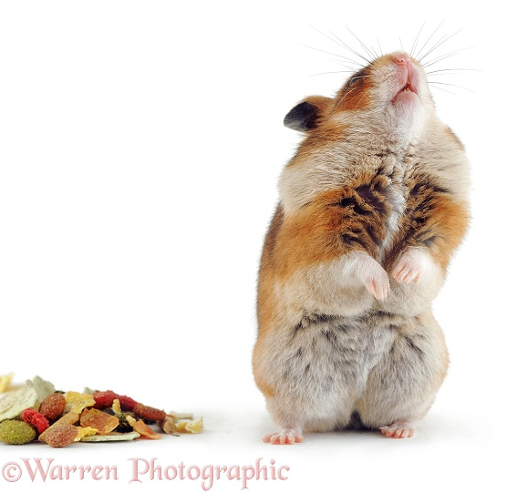 Golden Hamster (Mesocricetus auratus) standing up, with full pouches, white background