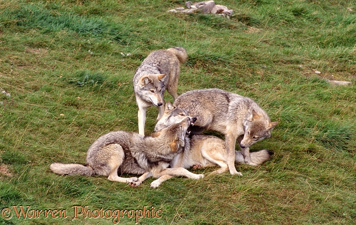 Submissive juvenile wolf cubs plaguing their mother, muzzle-bumping/food soliciting