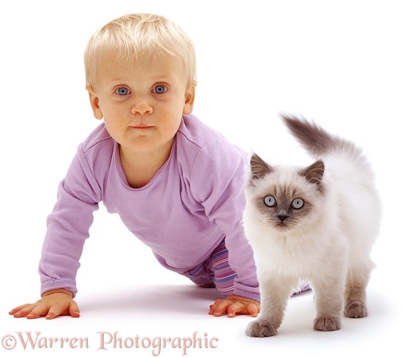 Siena and Blue colour-point Birman-cross kitten, Scilla, white background