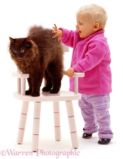Siena and Chocolate Persian-cross female cat Chloe, 6 months old, on a pink child's chair, white background
