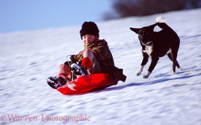 Border Collie Jumble chases after Max on plastic toboggan