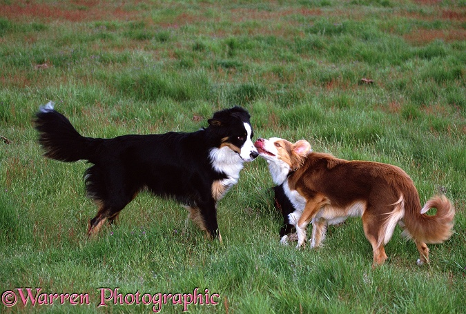 Border Collies: submissive red bitch meeting dominant tricolour dog