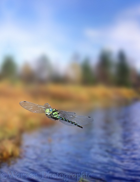 Southern Hawker Dragonfly (Aeshna cyanea) male in flight