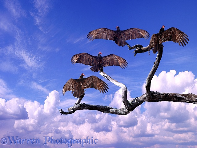 Turkey Vultures (Cathartes aura) warming themselves in early morning sun.  North America