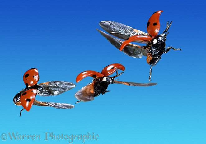 Seven-spot Ladybird (Coccinella 7-punctata) in flight, three images