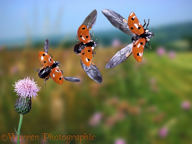 Seven-spot Ladybird (Coccinella 7-punctata) taking off from Creeping Thistle, three images