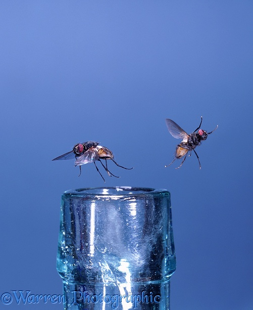 Houseflies (Musca domestica) taking off from the mouth of a bottle