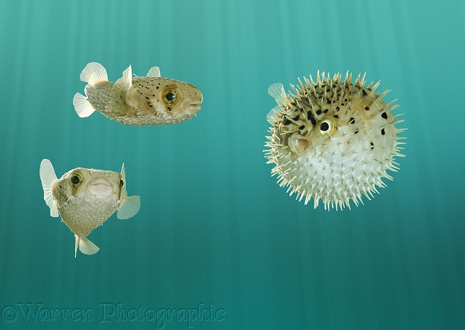 Pufferfish (Diodon holacanthus), one inflated in self-defence