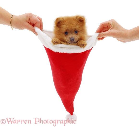 Pomeranian puppy in a Father Christmas hat, white background