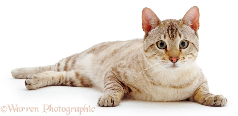 Sepia Spotted Snow Bengal male cat, Tagor, white background