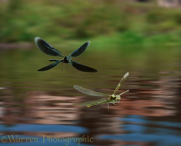 Beautiful Demoiselle Damselfly (Calopteryx virgo) male and female flying over a pond.  Europe